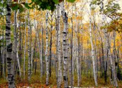 What Diseases Can Affect birch Trees